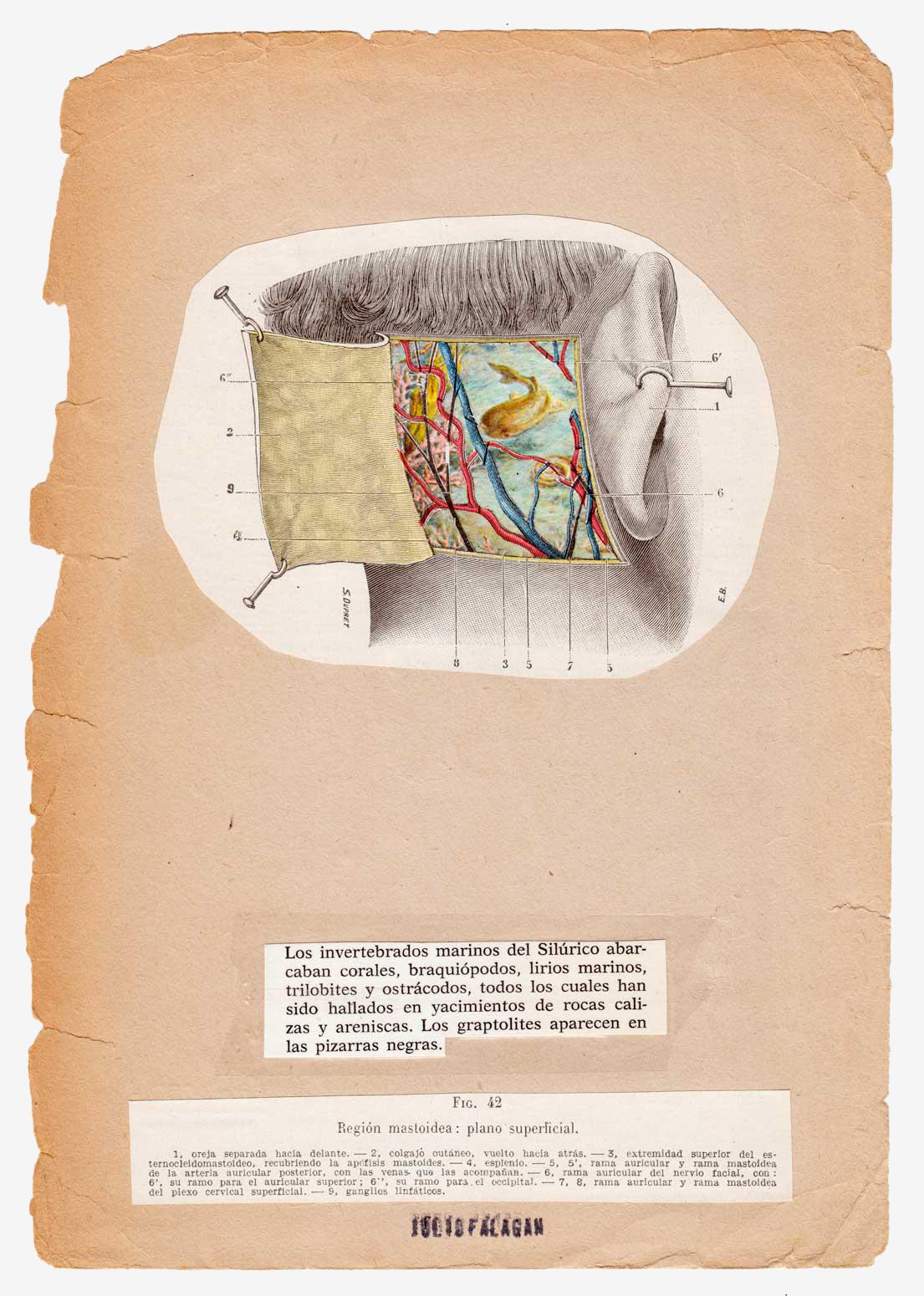 anatomia-silvestre-siluro-julio-falagan
